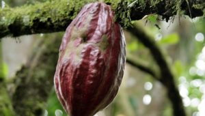 Bei Weitem ältester Beleg: Kakao stammt doch nicht aus Mittelamerika