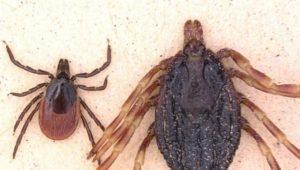 Zecken – Warnung vor Hyalomma: Neue suptropische Art breitet sich aus